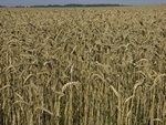 Bread Wheat (Triticum aestivum)